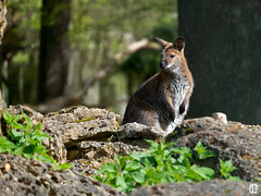 To be or not to be (mostodol) Tags: park france nature animal wow wallaby pal allier marsupial parc auvergne animalier greatestphotographers