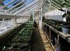 8-Kingston Lacy greenhouse - 5775 (Ramarsh45) Tags: greenhouse glasshouse pottingshed kingstonlacy plantpots kitchengardrn