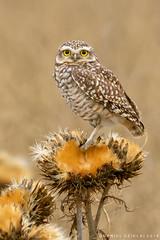 Pequn. Athene cunicularia. Burrowing Owl (Daniel Sziklai G.) Tags: lechuzas liberacin carn laguna pequn athene cunicularia burrowing owl aves birds chile noviciado
