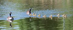 Sortie familiale (Sophie 33) Tags: nature mai lasalle oiseaux 2016 parcdesrapides