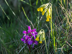 Harmony.. (johngregory250666) Tags: orchid nature early nikon purple district peak nikkor springtime cowslip