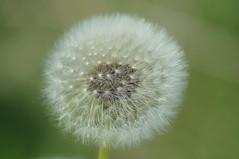 Getting ready to fly (nancy II) Tags: macro nature scotland spring may dandelion seedhead wildflower taraxacum 2016