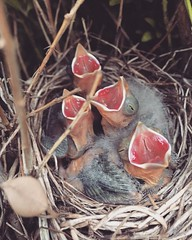 Spring has sprung - hello folks :-) (monkeyyyyyy) Tags: baby birds children spring nest feeding birth young mother newborn eggs chicks hatch