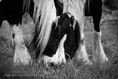 Gypsy Vanner Brothers (b_mccarley) Tags: horses horse animal mare running run equestrian canter equine draft gallop drafthorse turnout vanner gelding cantering gypsyvanner horsesatliberty atliberty