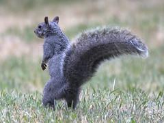 Squirrel-zilla (uncle.dee9600) Tags: standing nikon squirrel telephoto graysquirrel nikond7200 squirrelzillasquirrelzilla