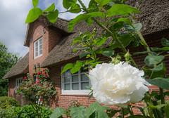 WKO_6925.jpg (banjo-kiel) Tags: rosen fhr reetdachhaus