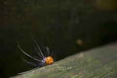 _MG_3479 (Daniel ResGo) Tags: naturaleza macro colombia gusano insecto