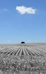 infrared corn (David Sebben) Tags: cloud barn corn iowa rows infrared