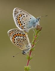 Silver-studded Blues - Plebejus argus (Gary Faulkner's wildlife photography) Tags: silverstuddedblue sussexwildlifetrust ipingcommon sussexbutterflies