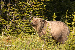 Grizzly Sow (Canon Queen Rocks (980,000 + views)) Tags: bear wild nature animals female kananaskis mammal wildlife large grizzly sow