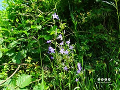Rapunzel-Glockenblume (Campanula rapunculus) (warata) Tags: flower fleur germany deutschland pflanze blume blte blueflowers 2016 wildblume wildpflanze campanularapunculus rapunzelglockenblume