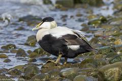 Common Eider Duck. (mjevons1) Tags: norway nikon svalbard alr eiderduck d7200