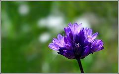 Blooming Blue Dicks (tdlucas5000) Tags: california flowers blue lake green purple bokeh diamond southern valley hemet wildflowers dicks