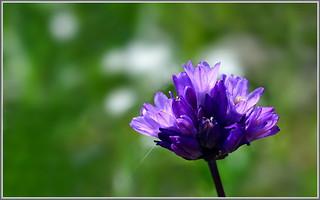 Blooming Blue Dicks