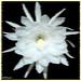 Closeup Epiphyllum oxypetalum Queen of the Night  Windy