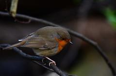 Robin (Erithacus rubecula) (kalakeli) Tags: robin birds erithacusrubecula april vgel europeanrobin 2015 rur dren riverrur
