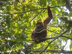 Alouatta seniculus - Red Howler Monkey (Juango8a) Tags: colombia juan digiscoping kowa ochoa avesdecolombia birdsofcolombia birdwaching juanochoa juango8a pajareandoando tsn773 xtremebirding expobirds juangonzaloochoazuluaga