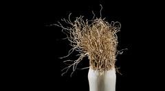 Leek Hair (e_impact) Tags: travel food inspiration fun healthy europe vegetable eat onion 365 leek searching atitagain project365 inserachoftheme tomorrowisbetter