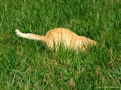 L'instinct de chasseur (Agnès Laure) Tags: france grass cat jump chat hunting prey approach tracking saut herbe chasse approche repérage proie lapalisse régionauvergne départementdelallier canonpowershotsx700hs