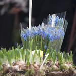"Muscari • <a style=""font-size:0.8em;"" href=""http://www.flickr.com/photos/28211982@N07/16739039896/"" target=""_blank"">View on Flickr</a>"