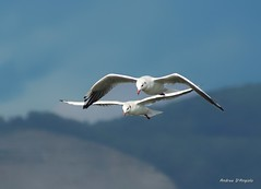 Gabbiani (Darea62) Tags: seagulls gabbiani lake massaciuccoli birds flight animals nature wildlife wings