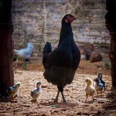 (MicFaifer) Tags: brazil brasil galinha roda rn riograndedonorte pintinhos sãomigueldogostoso