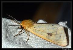 Ecaille roussette (Diacrisia sannio) (cquintin) Tags: lepidoptera arthropoda erebidae sannio diacrisia