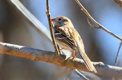 field sparrow at Chattahoochie Park IA 854A7854 (lreis_naturalist) Tags: park county field reis iowa larry sparrow chattahoochie winneshiek