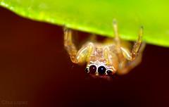 saltadora (Thiodina sp) (Chus López) Tags: méxico female chiapas hembra macrofotografía salticidae thiodina thiodininae arañasaltadora jumpinspider