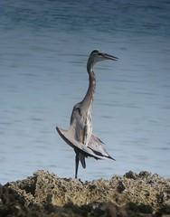 Ardea herodias / Garzón azulado / Great Blue Heron (felixú) Tags: greatblueheron ardeidae ardeaherodias