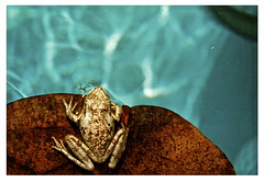 The Frog (Sandrine Vivès-Rotger photography) Tags: blue light brown nature pool swimming leaf frog bleu swimmingpool grenouille feuille