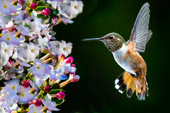 Bouquet and Lady Rufous.......... (P C Chang) Tags: morning flower garden spring hummingbird blossom gorgeous bloom rufous earlymorningsun roufushummingbird pcchang beautioful