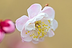 Plum Blossom( ) (Johnnie Shene Photography(Thanks, 1Million+ Views)) Tags: pink flowers light red wild people flower colour macro nature floral beautiful beauty horizontal closeup canon lens outdoors photography eos rebel one living spring focus kiss day natural image zoom blossom outdoor no wildlife blossoms scenic plum sigma tranquility scene images apo single daytime magnified 70300mm plums tranquil hdr scenics freshness dg springtime selective 456 prunus t3i x5 70300 magnification organism  fragility 600d f456 mume