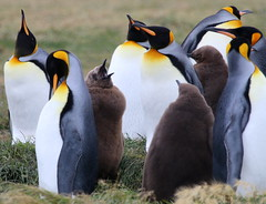 King penguin chick begging for food (Paul Cottis) Tags: chile patagonia tierradelfuego penguin march 31 mrsc 2015 paulcottis