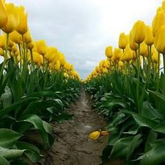 #TulipsLifeSeria #YellowTulipsSeria #LalelerSeria #TulipsSeria #SariLalelerSeria #SariSeria #YellowSeria #FlowerField  #LaleÇiçeği Bilimsel sınıflandırma Âlem: #Plantae (Bitkiler) Klad #Angiosperms (Kapalı tohumlular) Klad #Monocots (Bir çenekliler) Takım (mgavsar) Tags: parrot fringed plantae rembrandt tulipa flowerfield liliaceae liliales angiosperms monocots viridiflora fosteriana kaufmanniana greigii doublelate singleearly laleçiçeği yellowseria tulipslifeseria tulipsseria lalelerseria yellowtulipsseria sarilalelerseria cumartesi2015seria cumartesiseria sariseria nisan2015seria april04nisan2015 cumartezinisanseria nisan04seria
