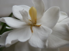 Reunion (Tomás Loustaunau) Tags: naturaleza white flower detail macro blanco nature flor micro jazmin unidad proceso pluralidad singularidad
