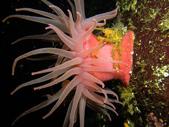an anemone on a crab on an anemone (Eva Funderburgh) Tags: crab scuba anemone egmont