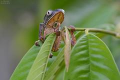 Phyllomedusa vaillanti (ggallice) Tags: amigos peru rain forest de los amazon rainforest selva treefrog madre dios hylidae madrededios cicra losamigosbiologicalstation phyllomedusavaillanti