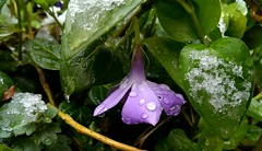 (*Tue*) Tags: snow cold flower green beauty spring waterdrop flickr purple april flickrturkey springthime
