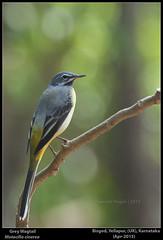 Sps. #11. Grey Wagtail (Motacilla cinerea) (ganesh_hegde) Tags: nature birds karnataka westernghats