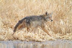 Wet Winter Walk (rickcameron) Tags: coyote walking washington autotour ridgefieldnationalwildliferefuge restlake riversunit