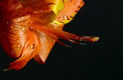 Orange Petals (Phyllis74) Tags: orange plant flower nature petal