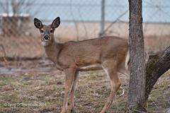 Young Doe (jimgspokane) Tags: wildlife deer washingtonstate