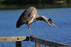 IMG_5644 (TMM Cotter) Tags: blue lake bird heron nature swan bc great victoria ardea sanctuary herodias