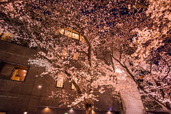 -  (Vince-leo) Tags: plant japan night spring kyoto    sakura  cherryblossoms kansai          nikond810