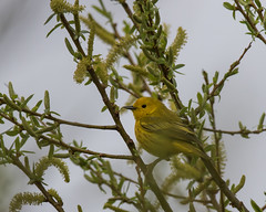 Yellow Warbler (J.B. Churchill) Tags: us unitedstates maryland places allegany flintstone taxonomy rockygapsp