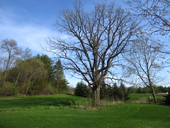 Spring Tree (AmyEAnderson) Tags: trees sky tree green grass wisconsin rural landscape branches lawn tracks sauk bucolic mown