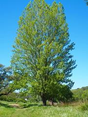 Poplar / Choupo (rgrant_97) Tags: portugal nature natureza abril alentejo fronteira alterdocho