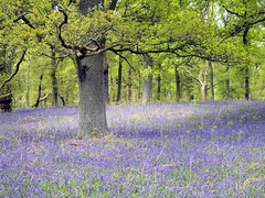 Nature's got the Blues. (Flyingpast) Tags: uk flowers blue wild plant flower colour tree nature forest woodland scotland spring woods outdoor walk vibrant perthshire scottish atmosphere calm wildflowers naturalworld kinclaven bigtreecountry wb2000 tl350 bbcspringwatch2016