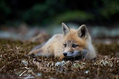 Minute of rest (Seventh day photography.ca) Tags: ontario canada animal mammal wildlife young fox wildanimal kit predator carnivore redfox